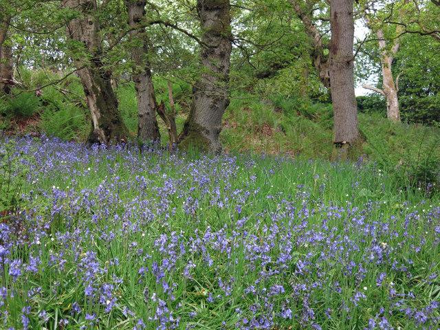 Bluebells in woodland by Honeycrook Burn