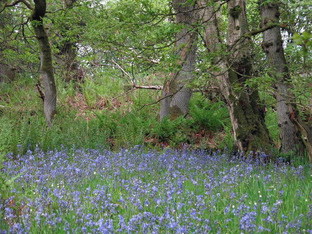 Bluebells in woodland by Honeycrook Burn (2)
