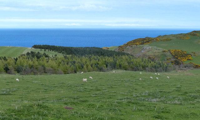 Sheep near Dowlaw Dean