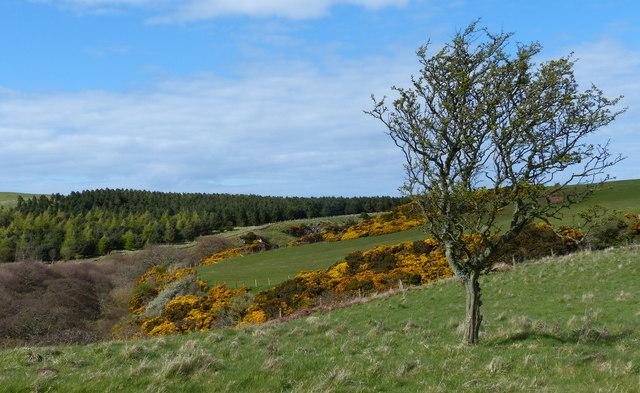 Tree near Dowlaw Burn