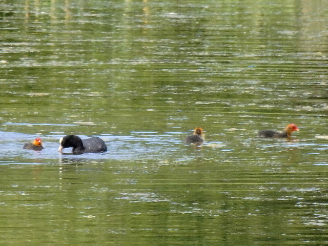Yorkshire Sculpture Park: coot and chicks