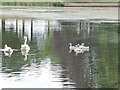 SE3338 : Swans with cygnets, Upper Lake, Roundhay Park by Stephen Craven