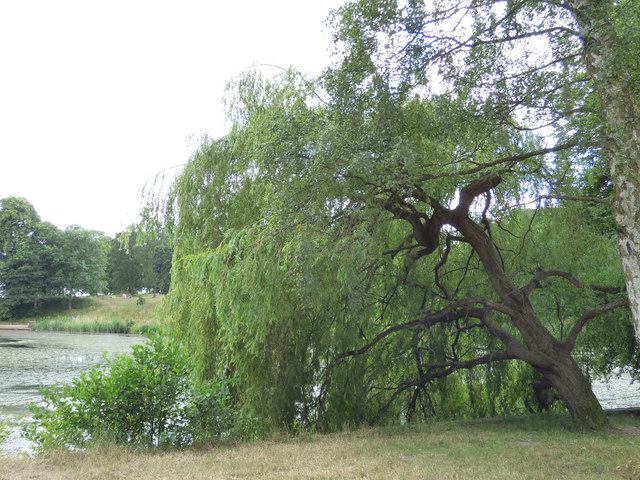 Weeping willow by the Upper Lake, Roundhay Park