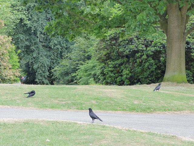 Three crows, Roundhay Park