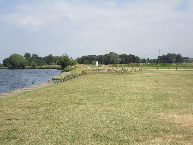 Canada Geese at Nottingham Sailing Club