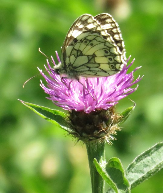 Marbled white butterfly on common knapweed
