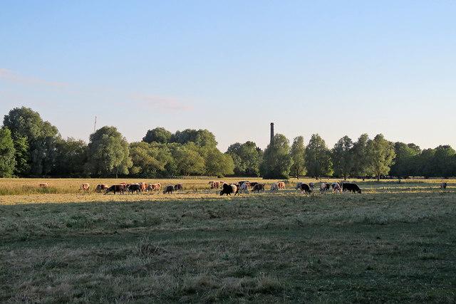 Cattle on Stourbridge Common