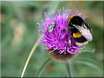 H4364 : Bumblebee and dagger fly on a thistle head, Killymoonan by Kenneth  Allen