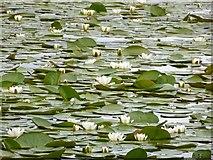 NH9718 : Water Lilies on Loch Garten by valenta