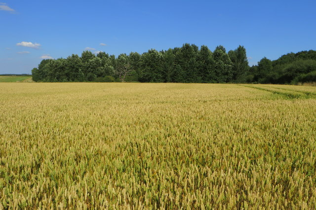 Arniss Copse and wheat field