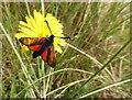 C6638 : Burnet moth on dandelion head, Magilligan Point : Week 29