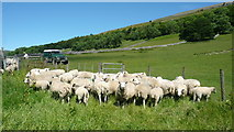 SD9771 : Sheep near Kettlewell by Mark Percy