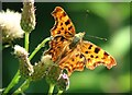 TG3306 : Comma butterfly (Polygonia c-album) by Evelyn Simak