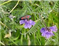 NR5808 : Six-spot Burnet Moth on Common Vetch by James T M Towill