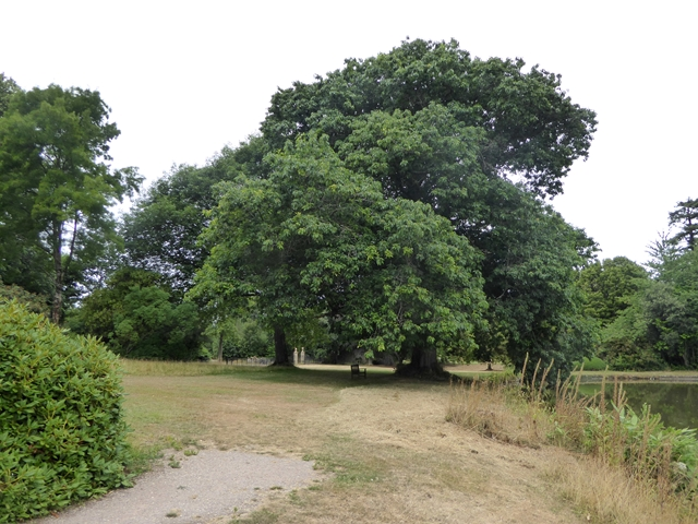 Oak tree beside the Great Pond, Forde Abbey