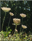 SX9066 : Wild carrot, Nightingale Park by Derek Harper