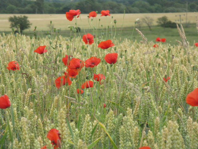 Poppies and winter wheat at Humbie