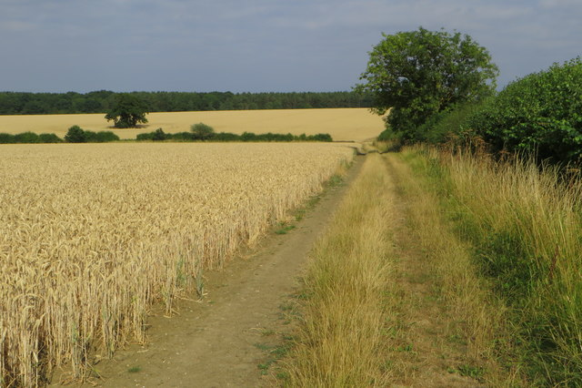Footpath by the wheat field