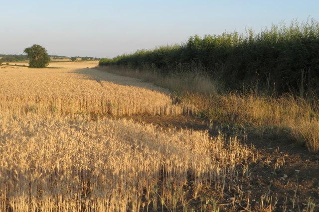 Hedgerow in a wheatfield