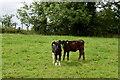 H5062 : Calves, Beagh by Kenneth  Allen