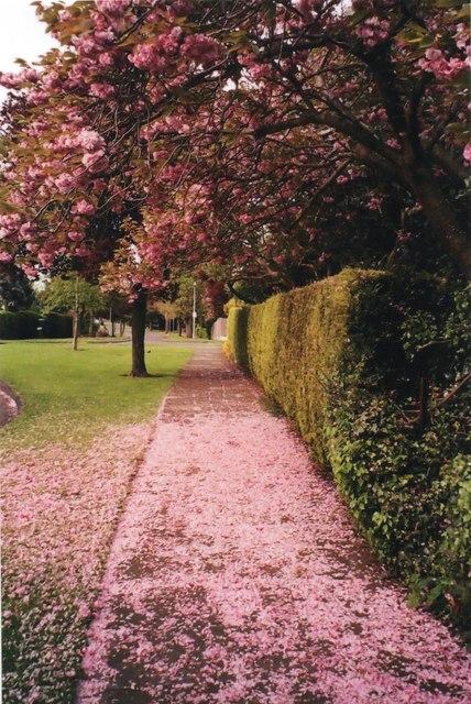 Cherry blossom, Third Avenue
