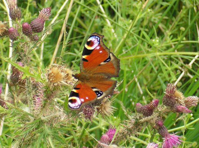 Peacock butterfly near Settle