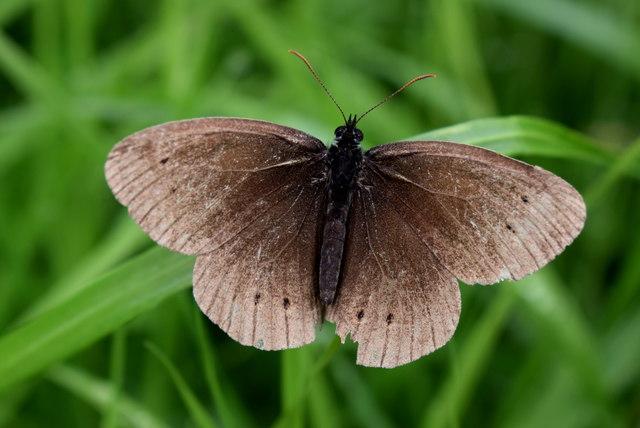 Ringlet butterfly, Bancran