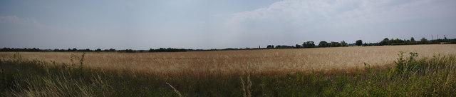 Wheat on Bourne North Fen