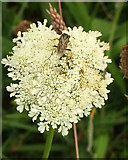 SX9066 : Insect on wild carrot, Nightingale Park by Derek Harper