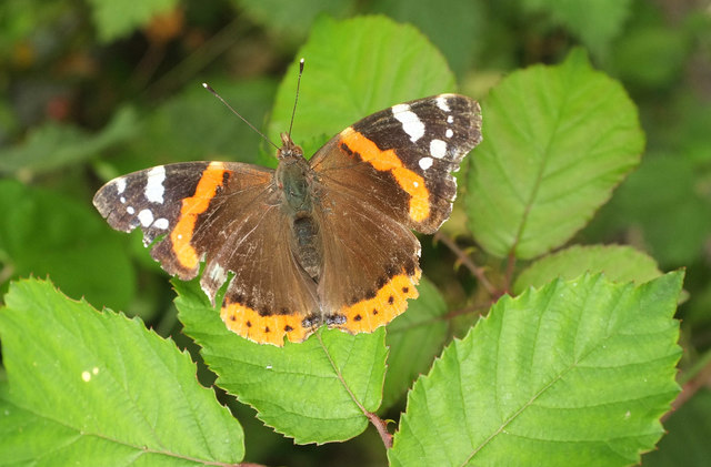 Red Admiral near Broomhill Way