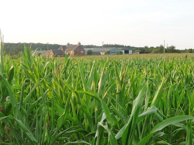 Maize crop, south of Three Lane Ends Farm