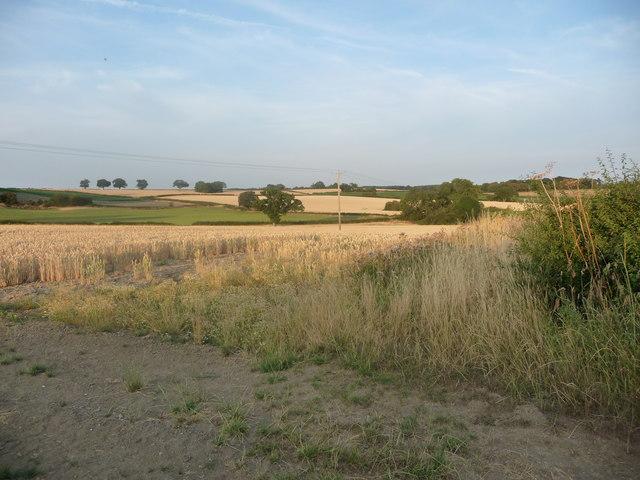 Wheatfield on Rushton's Hill