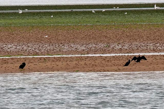 Cormorants on a Sandbank in the River Exe