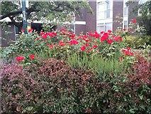 TQ1672 : Roses on Ashburnham Road, Ham by David Howard