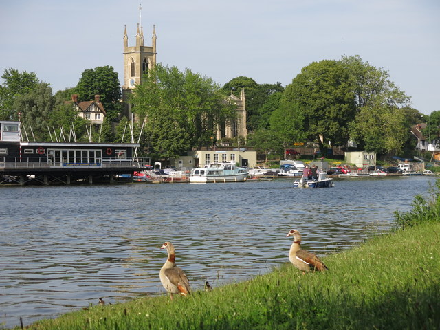 Egyptian geese by the River Thames upstream of Garrick's Eyot
