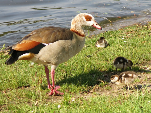 Egyptian goose and chicks by the River Thames upstream of Garrick's Eyot