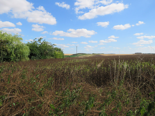 Barley: field beans and a view into Cambridgeshire
