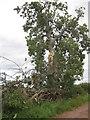 NT6181 : Damaged Ash tree near Lochouses by M J Richardson