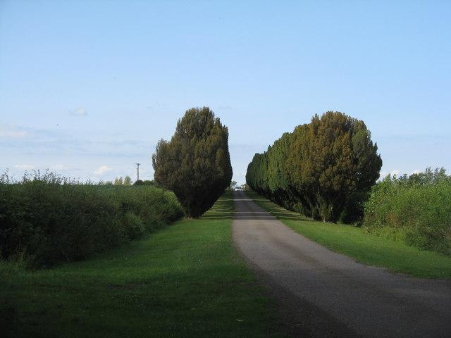 Yew trees in East Lothian