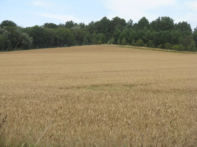 Winter wheat at Tyninghame by M J Richardson