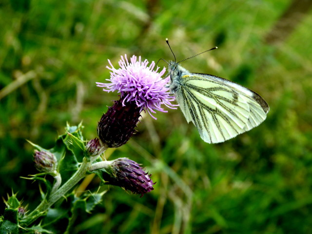 Green-veined white butterfly, Bancran