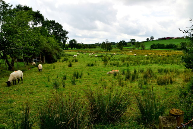 Sheep among the rushes, Bancran