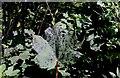 NO2407 : Diseased sycamore tree by Bill Kasman