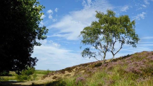 Moorland birch in heather