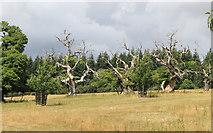 SO4465 : Old Trees in Croft Park by Des Blenkinsopp
