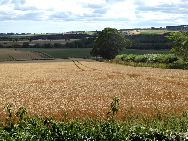 Wheat field below Rugley House by Oliver Dixon