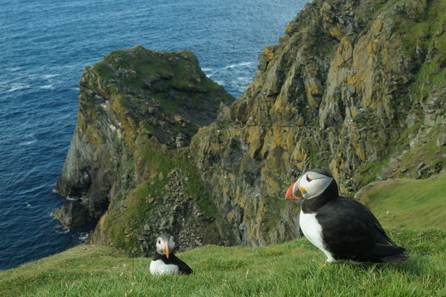 Puffins (Fratercula arctica), Sothers Geo, Hermaness