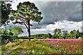 H4767 : Scots pine, Drumconnelly by Kenneth  Allen