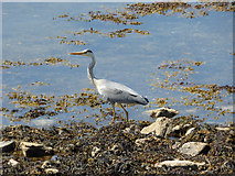 NS0274 : Grey heron at Colintraive by Thomas Nugent