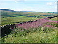 SD9438 : Rosebay Willowherb near to a layby on Two Laws Road, Trawden Forest by Humphrey Bolton
